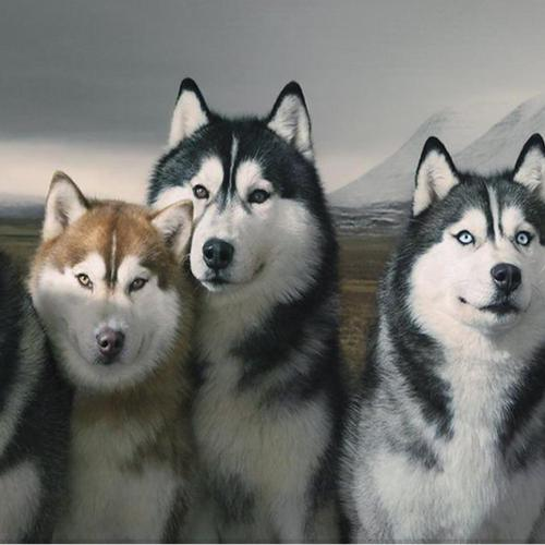 Pack Of Siberian Huskies wallpaper