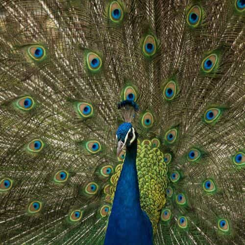 peacock animal beautiful nature