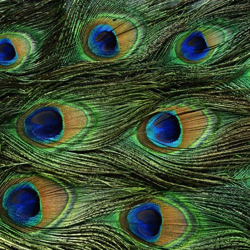 Peacock feathers texture wallpaper