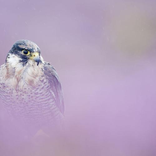 Peregrine Falcon in pink