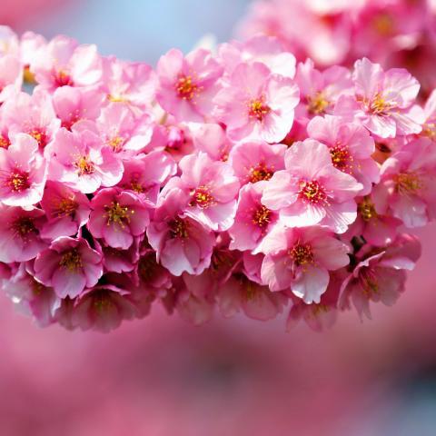 Rosa Blumenblüte hintergrund