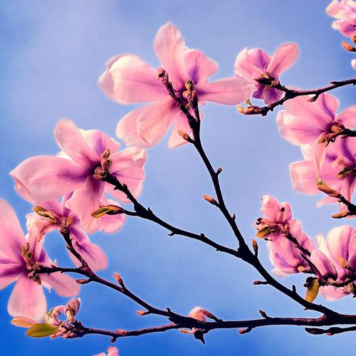 Pink flowers on spring tree