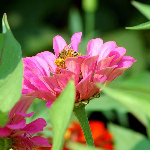 Pink Flowers With Bee