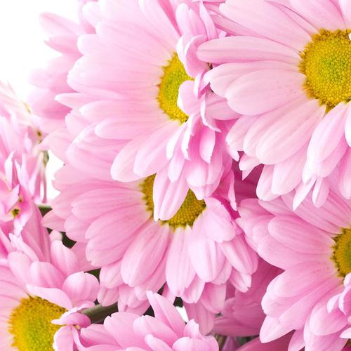 Pink Mums flower wallpaper