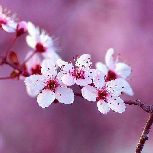 Pink spring branch macro wallpaper