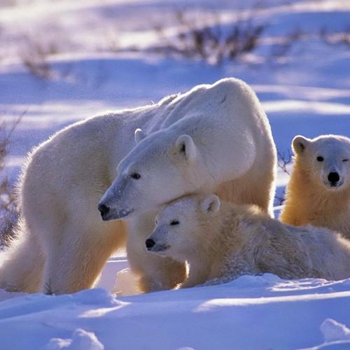 Polar bears in the snow
