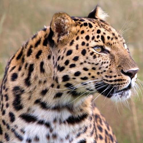 Portrait of beautiful Jaguar