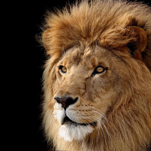 Portrait of majestic lion