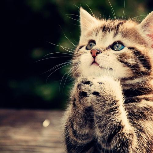 Praying cute cat