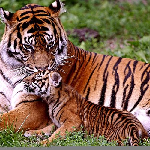 Precious moment of tiger family wallpaper