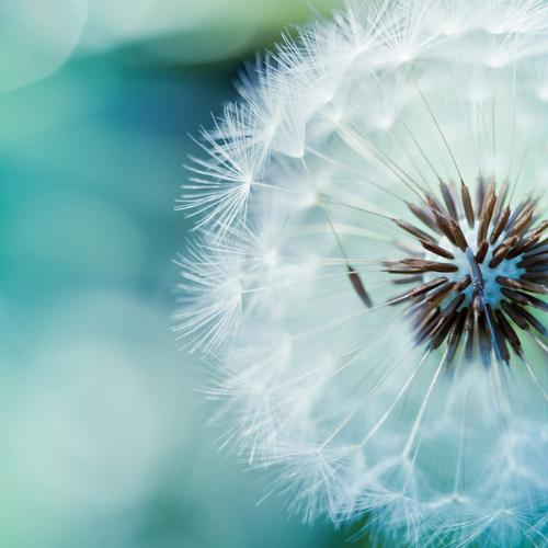 Pretty dandelion macro wallpaper
