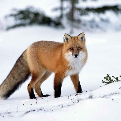 Pretty fox in the snow wallpaper