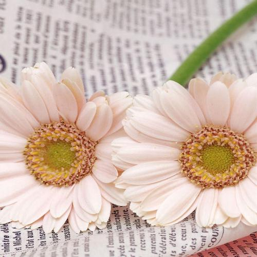 Pretty Gerberas On Newspaper wallpaper