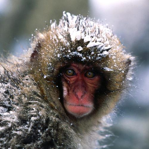 Pretty shot of snow monkey