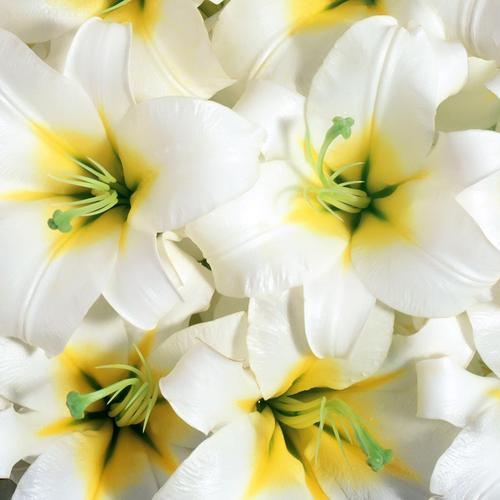 Pure white lilies wallpaper