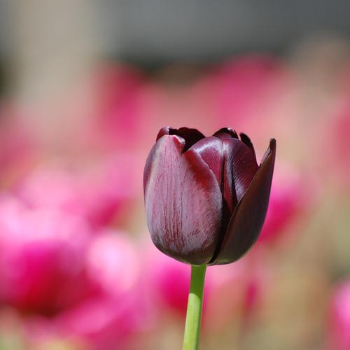 Purple Black Tulip taustakuvat
