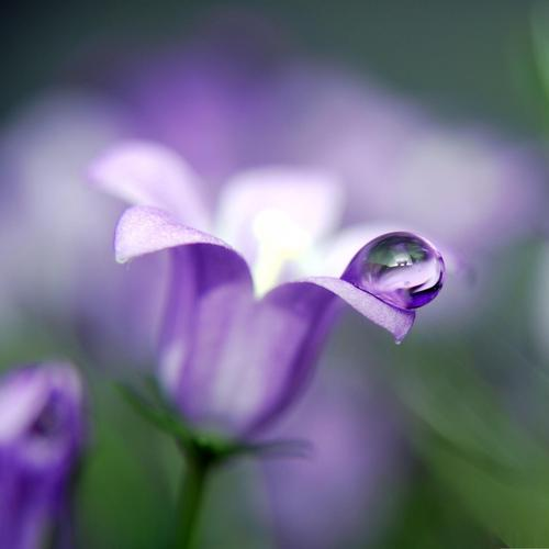 Purple bluebell flower close up wallpaper