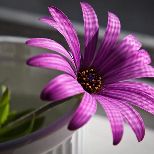 Purple flower in the pot