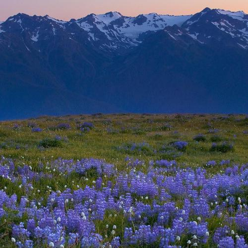 Purple flowers field on foothills wallpaper