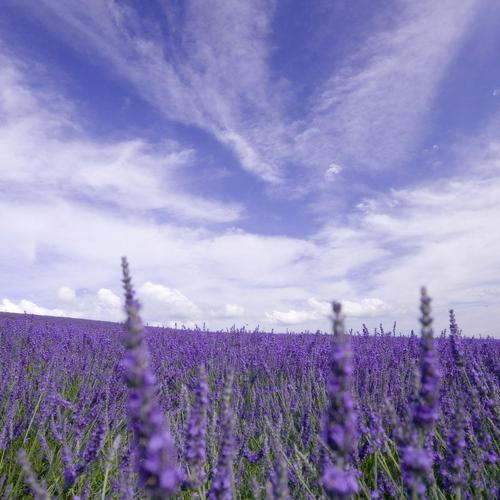 Purple flowers field wallpaper