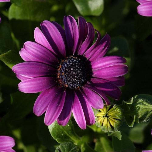 Purple Gerbera wallpaper