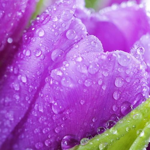 Purple tulip with raindrops wallpaper