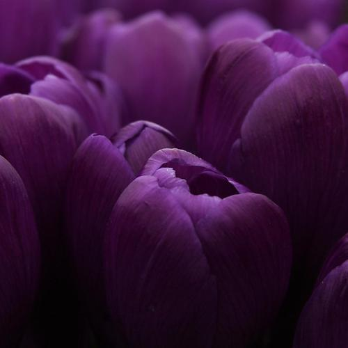 Purple Tulips bulbs