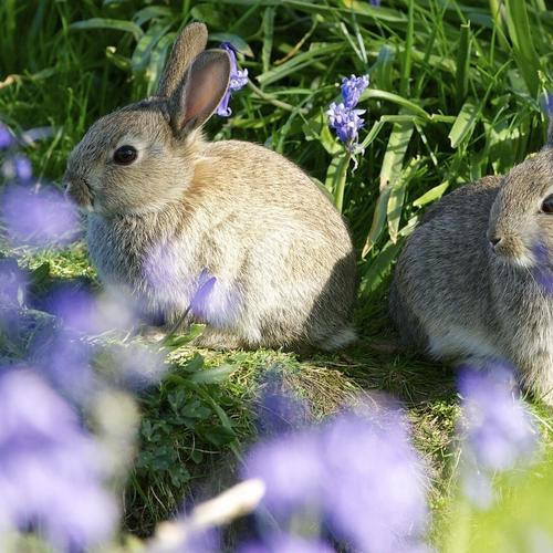 Rabbits couple on the meadow