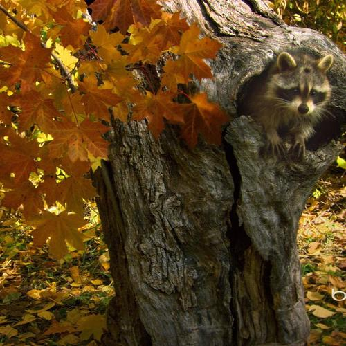 Raccoon Hiding In A Hollow Tree