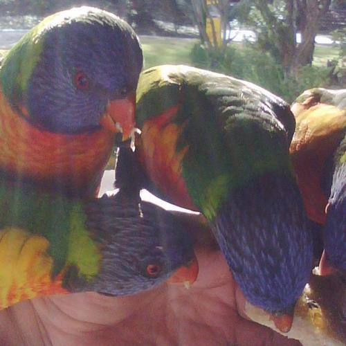 Rainbow Lorikeets wallpaper