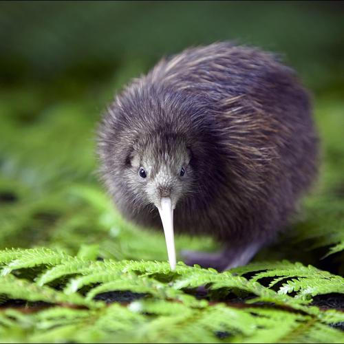 Rare Exclusive Kiwi wallpaper