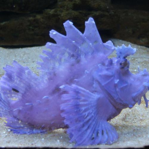 Rare purple fish
