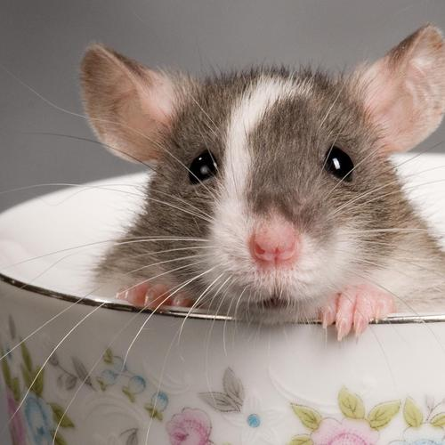 Rat in teacup wallpaper