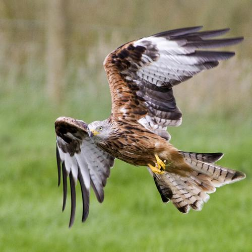 Red Kite Flying тапети