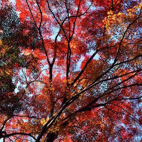 Red leaves tree in autumn