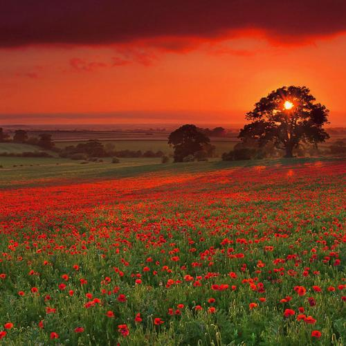 Red Poppy flower field in sunset