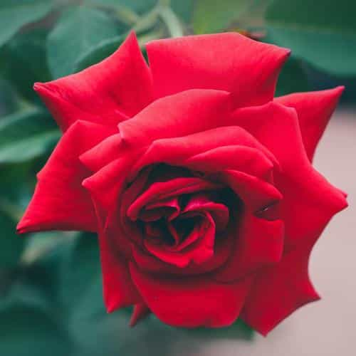 red rose nature flower wood love valentine