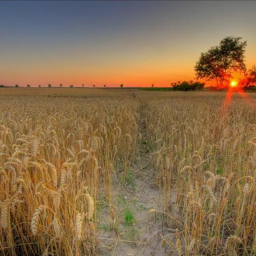 Red Sun rises on the wheat field wallpaper
