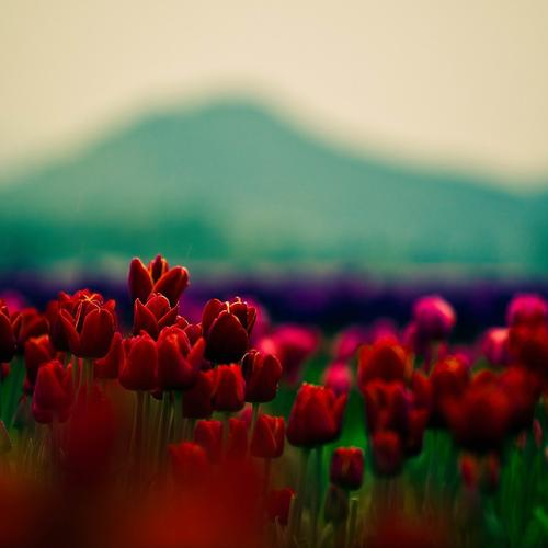 Red Tulips field wallpaper