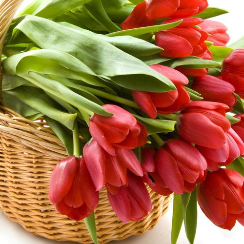 Red tulips in basket