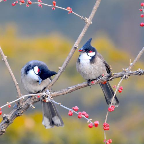 Red whiskered Bulbul Birds wallpaper