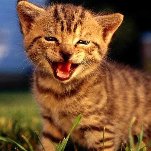 Roaring cute kitten