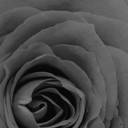 rose bw dark flower nature love