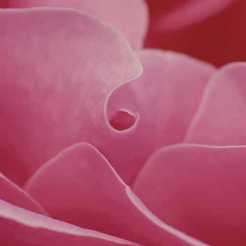 rose flower leaf pink