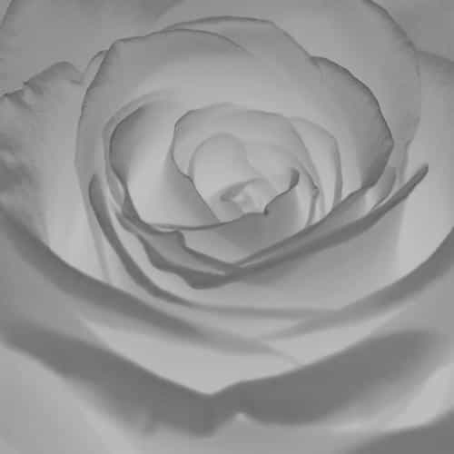 rose flower white nature