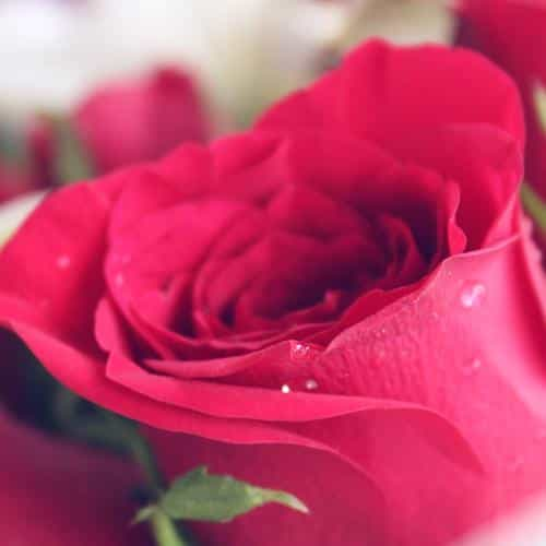 rose red love nature