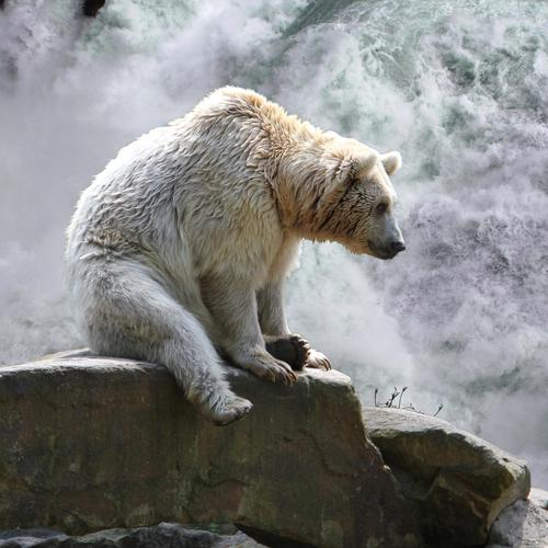 Sad white bear at waterfall