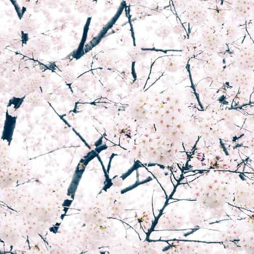 sakura cherry spring tree flower nature