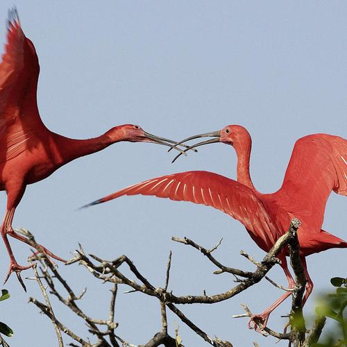 Scarlet ibis couple