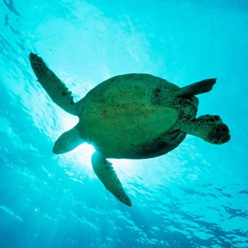 Sea turtle - view from under wallpaper